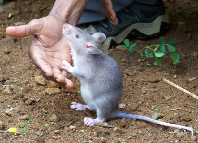 African Pouched Rat