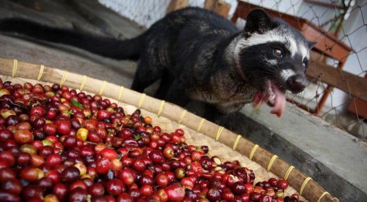 Weasel-Coffee