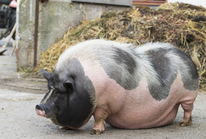 Potbelly-Pigs